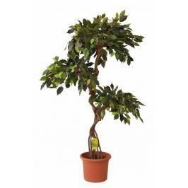 EverGreen Ficus kmen