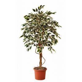 EverGreen Ficus hawaii výška 140 cm v květináči