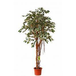 EverGreen Ficus hawaii vzdušné kořeny výška 170 cm v květináči