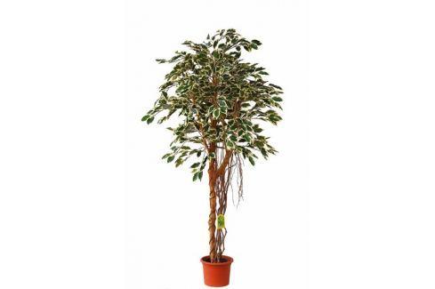 EverGreen Ficus hawaii vzdušné kořeny výška 170 cm v květináči Umělé květiny, stromky